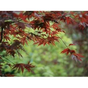 Japanese Maple Leaves National Geographic Collection Photographic