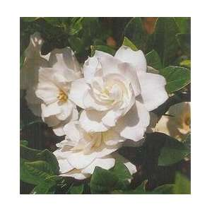 Gardenia August Beauty Flowering Shrub 4 inch pot: Patio