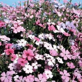500 Oculata VISCARIA MIX Rose of Heaven Rse Angel Seeds
