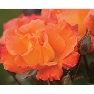 Orange Waves Rose Seeds Packet Patio, Lawn & Garden