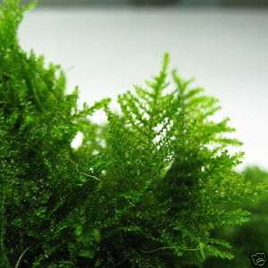 TAIWAN Moss 3 BAG  live aquarium plant Decoration fern