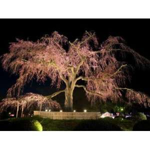 Famous Giant Weeping Cherry Tree in Blossom and